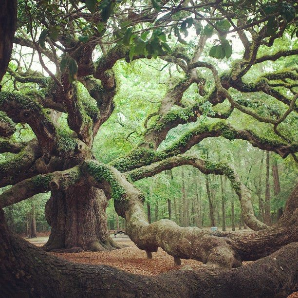 Angel Oak Tree in Angel Oak Park, on Johns Island, Southern Carolina.