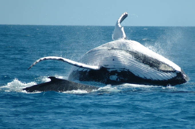 humpback-whale-dolphin-2240x1488